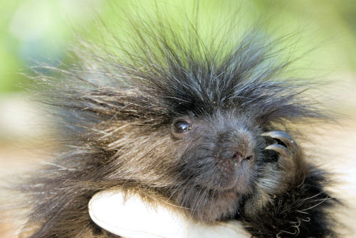 """baby-porcupine - """"Will you love me? Please?"""" - Photos Unlimited"""